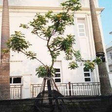 cây điệp vàng1