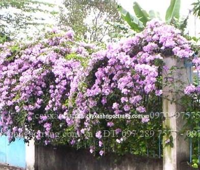 cây ánh hồng
