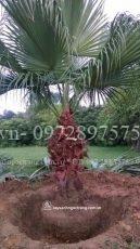 cây cọ cảnh (3)