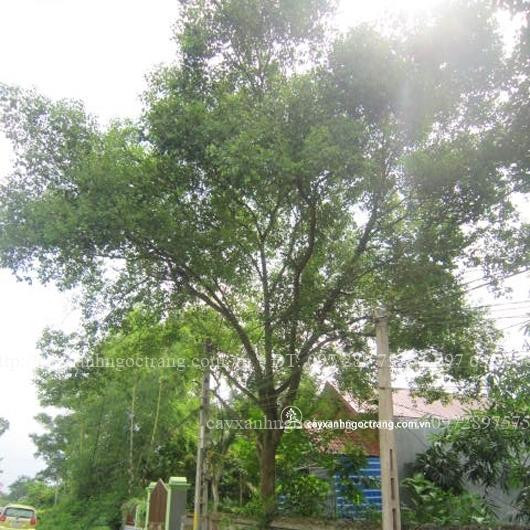 cây long não 4