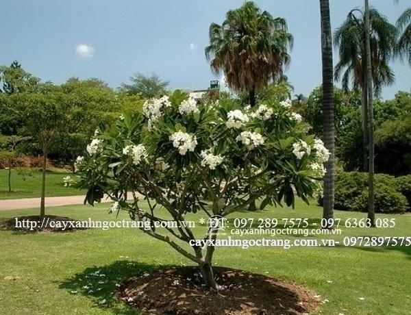 sứ đại hoa trắng (2)