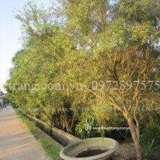 cây liễu hoa đỏ (1)