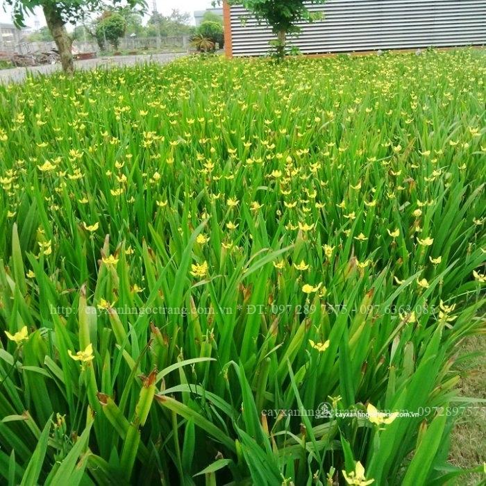 Hoa Diên vĩ vàng nở rực rỡ