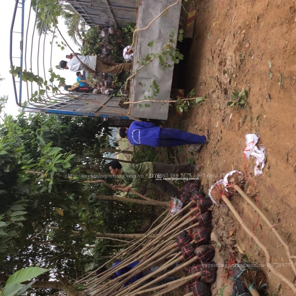 xuất cây cung cấp cây xanh cho công trình