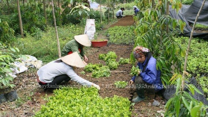 công nhân Ngọc Trang đang trồng cây tại vườn ươm
