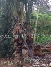 cây dừa 1