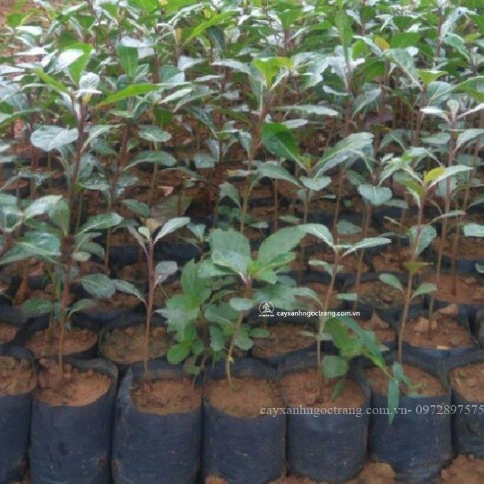bàng đài loan cây giống
