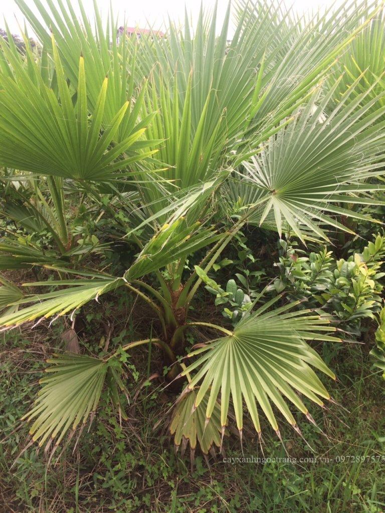 cây cọ mỹ - vườn ươn Thuần Mỹ