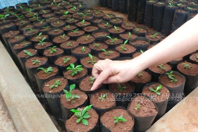 túi bầu ươm cây, túi trồng cây